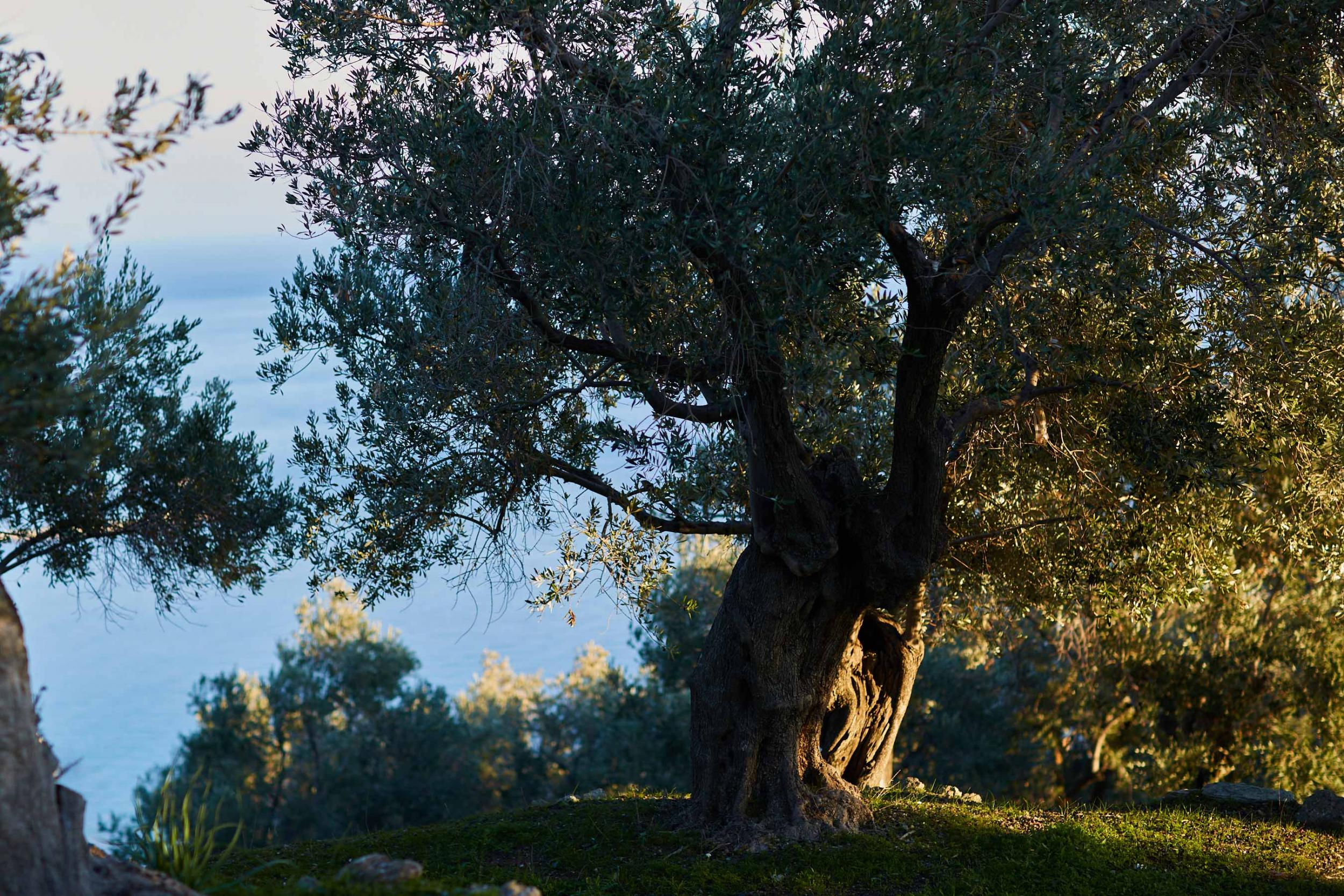 olive tree in afternoon light above Plomari, Lesvos